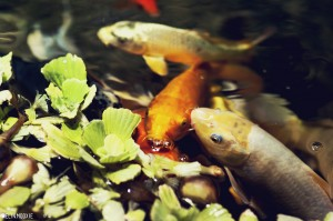 Koi Fish in a Fish Pond