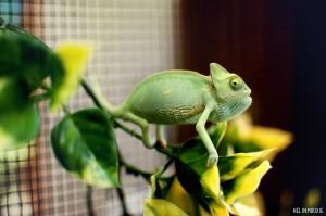 Veiled Chameleon Hatchling Reptile
