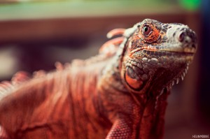 Red Iguana Reptile